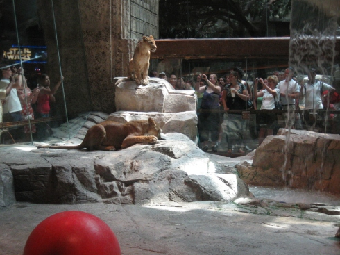 Visit the lions in MGM